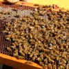 Neonicotinoids in Honey
