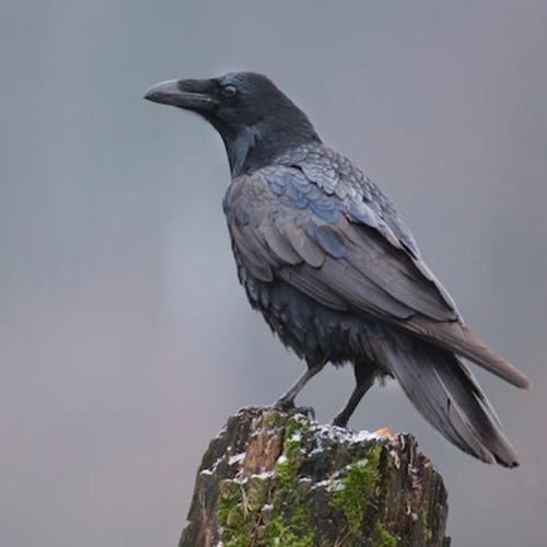 KAOS - The Crow