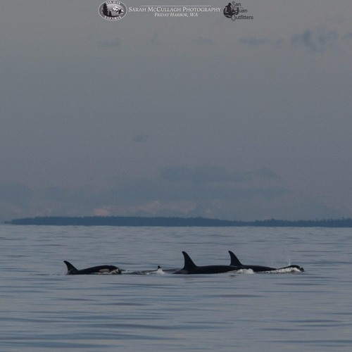 11-18-2017: Southern Resident Killer Whales