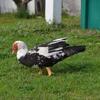 Freida (The Duck)