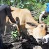 Renforcer la résilience des éleveurs et du bétail en Haïti