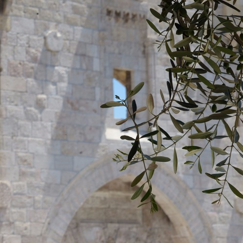 Olive tree in the old city of Jerusalem. Excerpt from The Songs of Trees.
