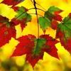 Leaves that are green (Simon & Garfunkel cover)