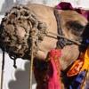 (Asia Calling) Upaya Naikkan Populasi Unta India yang Menyusut Tajam