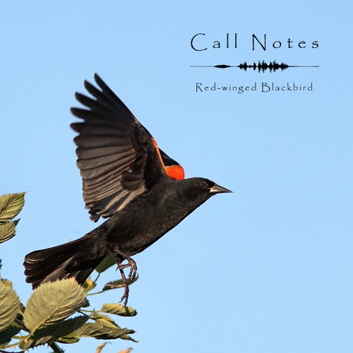 'Call Notes' Episode 8 -- Red-Winged Blackbird