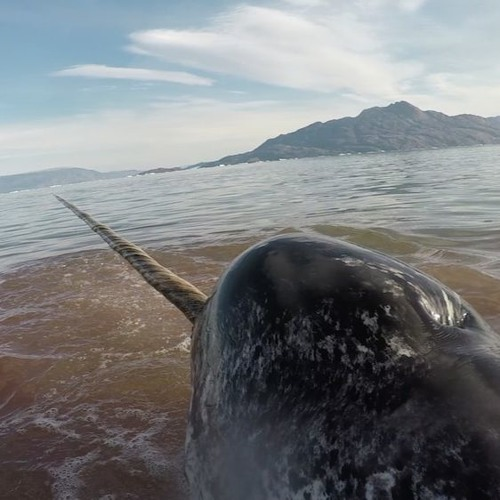 A Narwhal's Slow, Anxious Heart