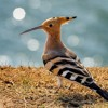 Pr. Sulaiman And The Hoopoe Bird