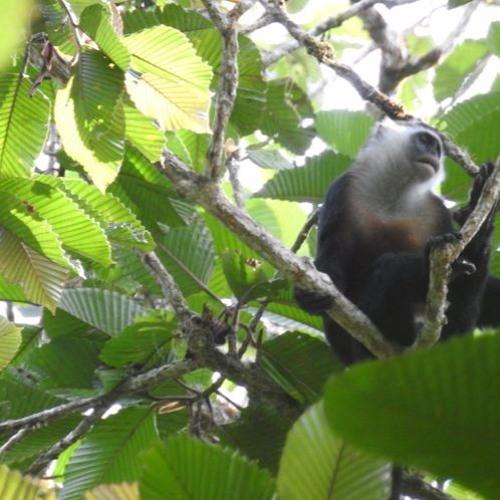 Golden Bellied Mentawai Langur