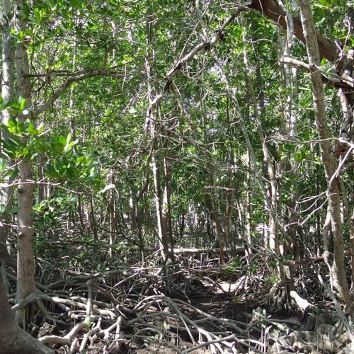 Mangrove fauna