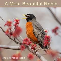 A Most Beautiful Robin
