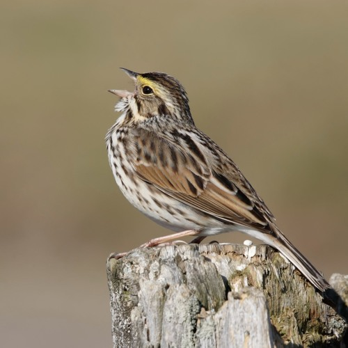 Savannah Sparrow changing its song as a result of noise pollution