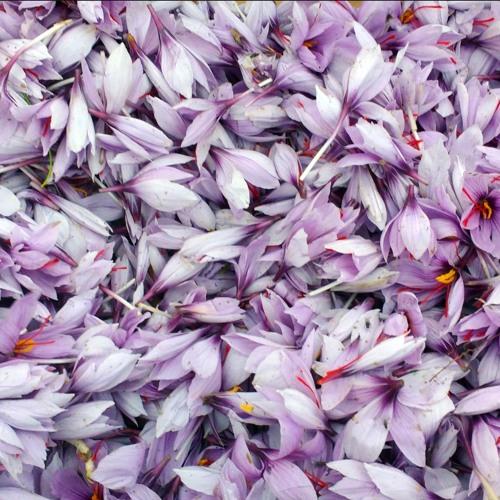 Meet Saffron, the World's Most Expensive Spice