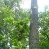 Natural Community: Basic Oak – Hickory Forest