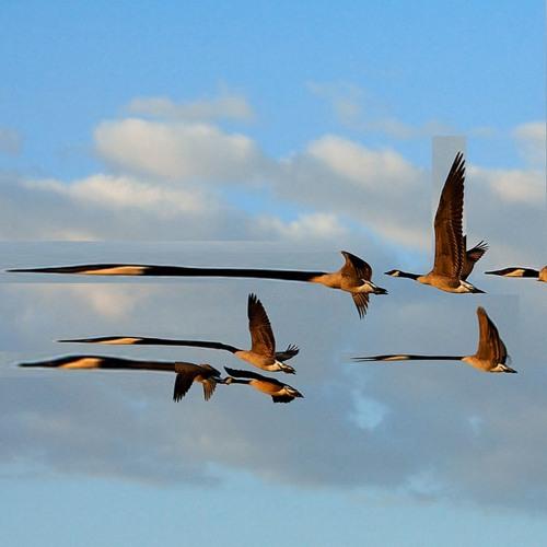 Geese flying overhead 2-octaves below