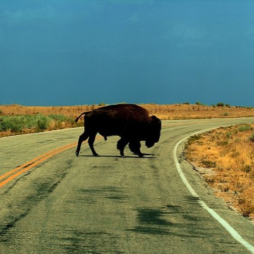 Last of the American Buffalo (excerpt)