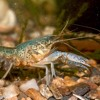The Genetic Mystery Of The Invasive Crayfish Clones