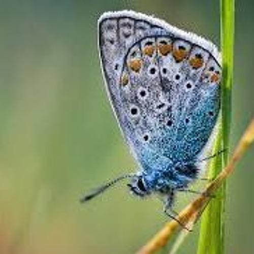 Butterfly(Irish Traditional)