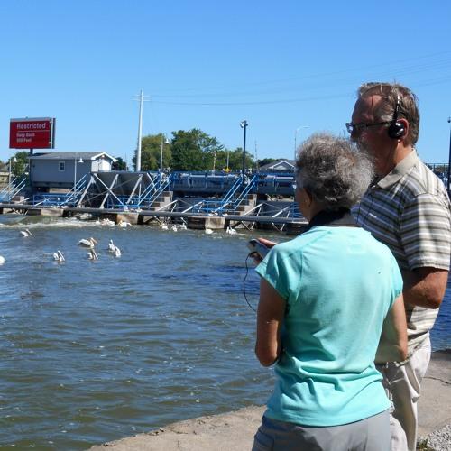 Wisconsin's White Pelicans