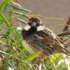 Canary birds - early morning singing