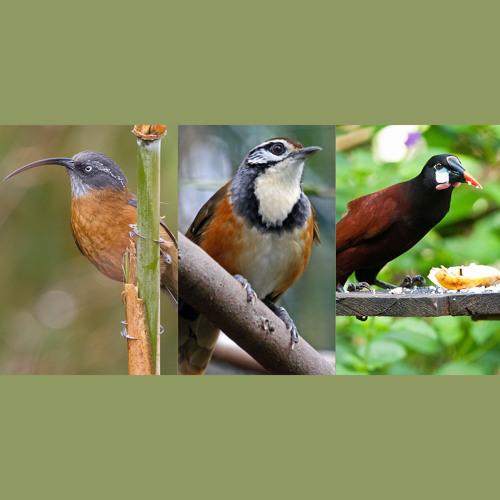 Scimitar Babbler, Laughingthrush, Montezuma Orependola [disquiet0323]