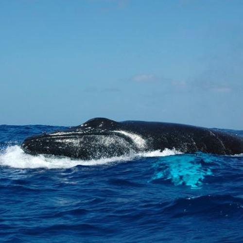 Baleine à bosse: mâle chanteur Mars 2018
