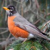 American Robin 1 - Starts March 20, 2018