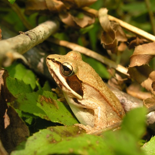 Chorus of Wood Frogs