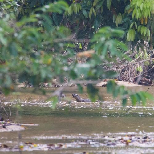 Otters in a Rainforest Creek, Ulu Muda, Malaysia