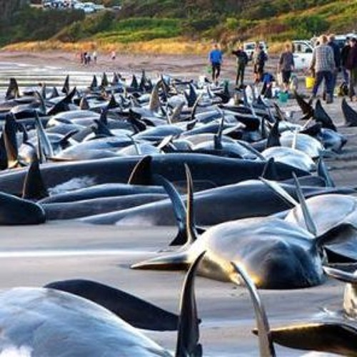 ON THE BRINK RADIO #242 WHALE & DOLPHIN STRANDINGS