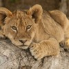 Day 17 - Cute Portrait of a Lion Cub