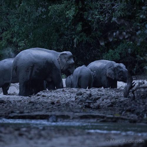 Elephants at a Salt Lick - Ulu Muda, Malaysia