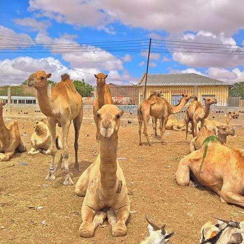 The Somali Camel Market