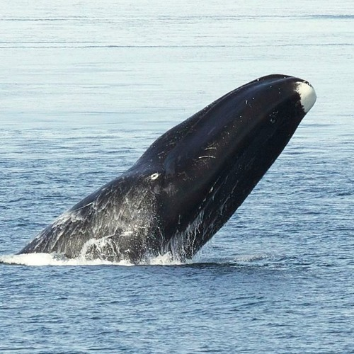 Meet The Bowhead Whale, The Jazz Singer of the Deep