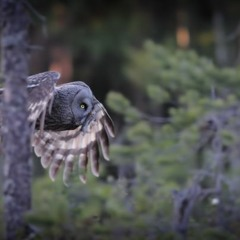 Into the old-growth forest – spring advancing, woodpeckers and Raven come alive
