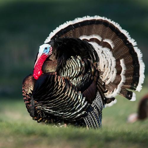 Panhandle Afield: Wild Turkeys