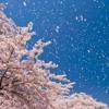 J-POP Sakura Song(Spring Song Medley)