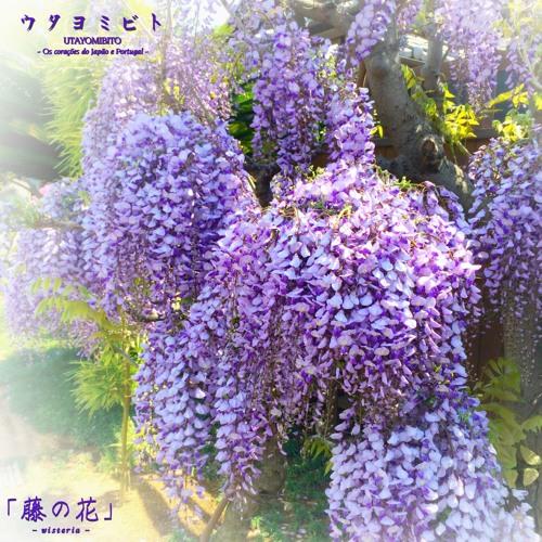 藤の花 ウタヨミビト 40sec