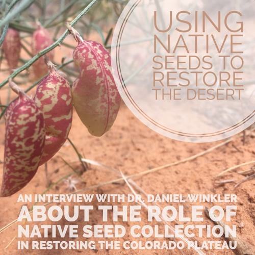 Using native seeds to restore the desert