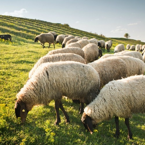 The Great Shepherd's Love for His Sheep (w/ Fr. David George)