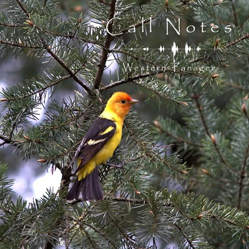 'Call Notes' Episode 10 -- Western Tanager