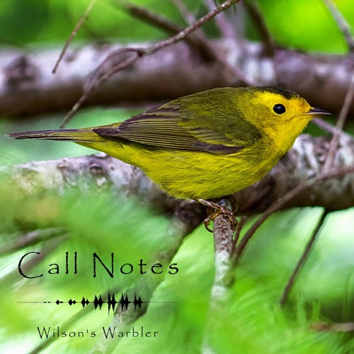 'Call Notes' Episode 11 -- Wilson's Warbler