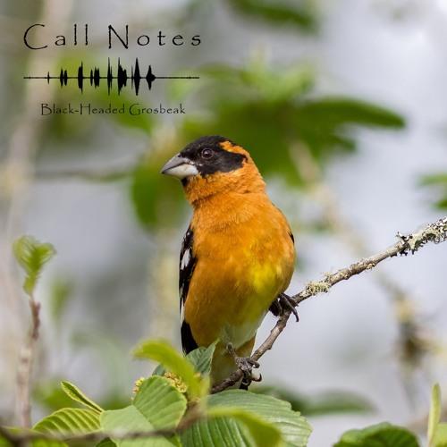 'Call Notes' Episode 12 -- Black-Headed Grosbeak
