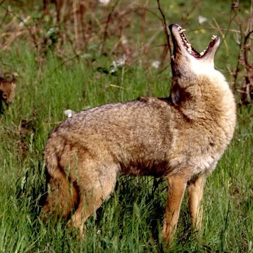 coyotes.ver1