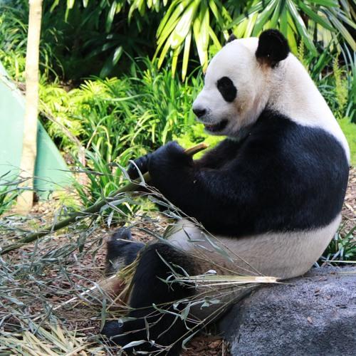 Panda Passage Calgary Zoo