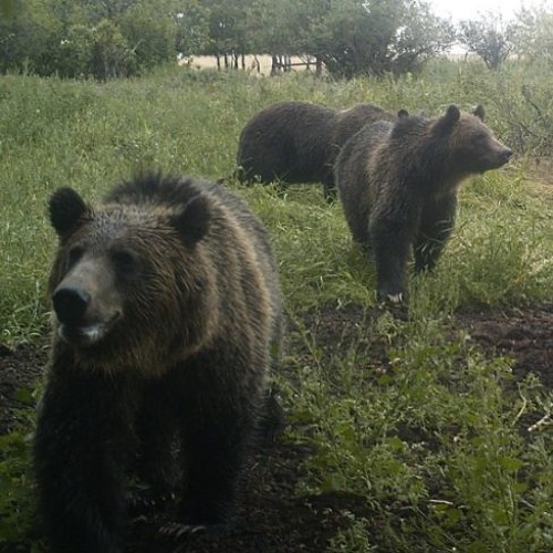 Show 17: Grizzly Bears on the School Playground