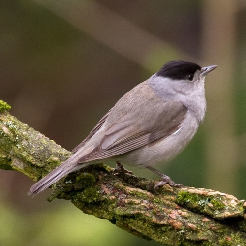 180507 Talking To A Blackcap