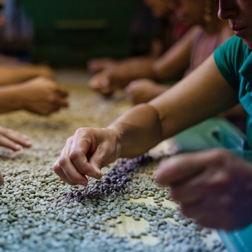 Gender & Coffee production and processing podcast