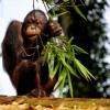 SciCafe—Orangutans, Obesity, and Human Evolution with Erin Vogel