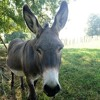 The donkey song