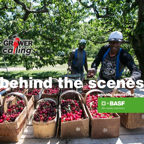 """Behind The Scenes"" David Geen talks labour shortages in sweet cherry industry"